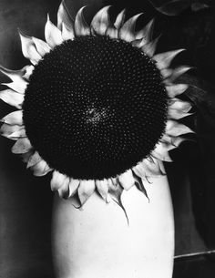 "Edward Steichen  //  Sunflower in a White Vase, Part of Series ""Sunflower from…"