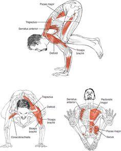 Bakasana Crow Pose, Crane Pose © Leslie Kaminoff's Yoga Anatomy B E N E F I T S…