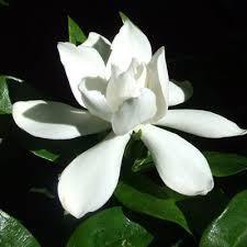 Escentials of Australia - Gardenia  Absolute gardenia jasminoides