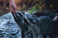 Raccoons)