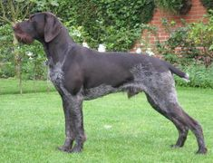 German Wirehaired Pointer - Deutsch Drahthaar
