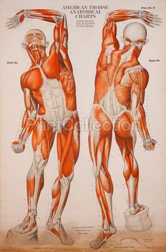 One of 8 from the set of American Frohse Anatomical Wallcharts. Showing full length musculature of the human body. During World War I these German charts were edited by Max Brodel at John Hopkins and published in the US. Hence the American Frohse.