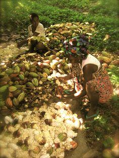 Somia Plantation (Sambirano Valley, Madagascar) Harvesting cacao by Bertil Akesson