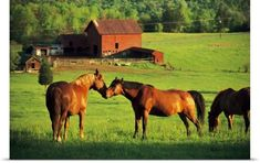 Poster Print Wall Art Print entitled Horses grazing in sunny pasture, None