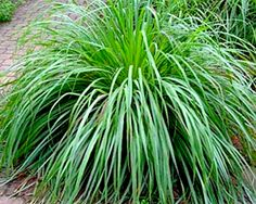 Lemongrass- SeedsPro- Herbs-This tropical perennial grass is grown as an annual and makes a very handsome ornamental edible. Widely used in cooking in Thailand, Vietnam and other countries in South-East Asia, its' fibrous leaves have a very strong lemon aroma . It's mainly used as an herb to infuse dishes like curries, soups, and marinades with that delicate lemon flavor. Made into a tea, it can help with digestive problems.