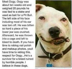 Oogy, the bait dog who survived from his injury ...