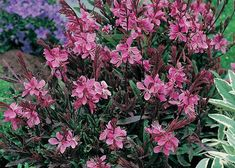 When you need a can't-fail plant for a hot, dry garden spot, try gaura. This tough perennial opens pretty white or pink flowers, held on long stems, from late summer into fall. Watch them when the wind blows, and you might mistake them for fluttering butterflies. Click through for more perennial recommendations.