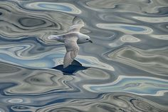 500px上のイヴ·アダムスの写真ドリーミーフルマカモメ