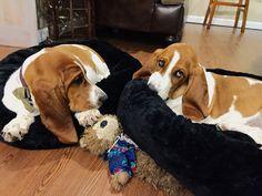 Sherlock + Watson basset hound twin brothers