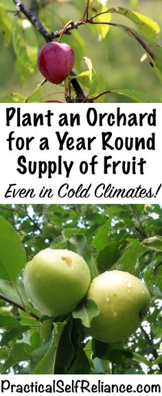 Organic Gardening Ideas How to Plant an Orchard for a Year Round Supply of Fruit ~ Even in Cold Climates ~ Zone 4 Orchard - I have this dream of someday growing all our own food for a full year Home Vegetable Garden, Fruit Garden, Planting Fruit Trees, Growing Fruit Trees, Fruit Bushes, Herbs Garden, Garden Pests, Growing Plants, Organic Vegetables