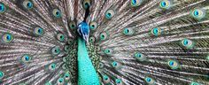 The Corporate Peacock - Would You Hire Yourself?