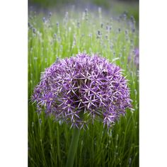 I have just purchased Allium cristophii from Sarah Raven - https://www.sarahraven.com/flowers/bulbs/alliums/allium_cristophii.htm