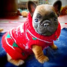 French Bulldog in a Christmas Sweater. French Bulldog Puppies, Cute Dogs And Puppies, I Love Dogs, French Bulldogs, Doggies, Baby Animals, Funny Animals, Cute Animals, Bulldog Pics