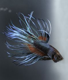 10 Cool Facts About Betta Fish