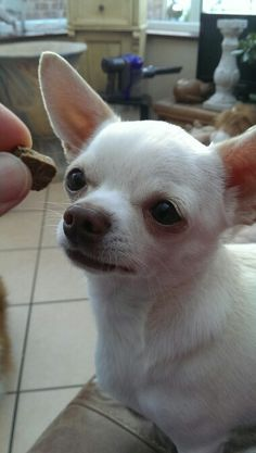 Join the greatest pet group there is on facebook Jamie a little white chihuahua