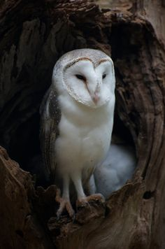 Barn Owl Guarding The Nest by GPNaturePhotos on Etsy, $45.00