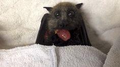 bat eating grape
