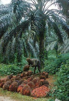 1959 |Calabar, Nigeria | Man gathering bunches of oil palm fruit | Photo source ©Eliot Elisofon