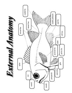 Basic fish diagram (fins labeled) fish lesson
