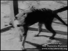 """Tasmanian Tiger/ thylacine combined footage - YouTube. T he thylacine (Thylacinus cynocephalus, Greek for """"dog-headed pouched one"""") was the largest known carnivorous marsupial of modern times. It is commonly known as the Tasmanian tiger (because of its striped back) or the Tasmanian wolf.[ Native to continental Australia, Tasmania and New Guinea, it is thought to have become extinct in the 20th century. It was the last extant member of its family, Thylacinidae.  Died 1936"""