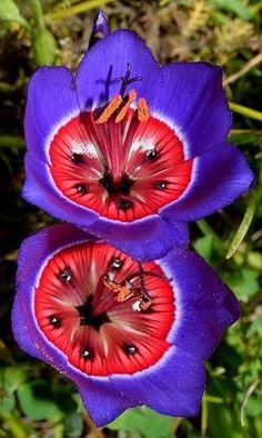Гейссоризы (Geissorhiza radians) принадлежат к роду семейства ириса, происходит из Южной Африки. Цветки гейссоризы напоминают крокусы или же миниатюрные дикие тюльпаны, но у них довольно своеобразная контрастная синяя расцветка с красной серединой.