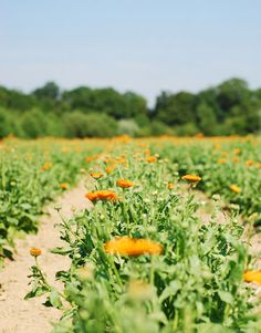 Calendula in the Weleda biodynamic garden - this is where Weleda babycare products grow - no chemical pick and mix here!!