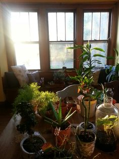 Plants moving indoors before the frost