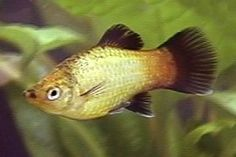 Gold Wagtail Platy.