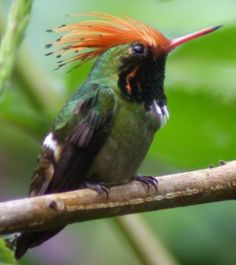 Rufous-Crested Coquette - Lophornis delattrei - Found in Bolivia, Colombia, Ecuador, Panama and Peru, this species of hummingbird is of the family Trochilidae. Tropical or subtropical moist lowland forests, tropical or subtropical moist montane forests and heavily degraded former forests are its natural habitats - Image : © Gunnar Egblom