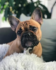The major breeds of bulldogs are English bulldog, American bulldog, and French bulldog. The bulldog has a broad shoulder which matches with the head. Cute Puppies, Cute Dogs, Dogs And Puppies, Doggies, Toy Dogs, Dog Toys, Cute French Bulldog, French Bulldog Puppies, French Bulldogs