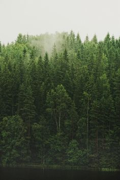 forest of conifers in fog