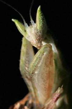 Pseudoharpax virescens // The Gambian Spotted-Eye Flower Mantis