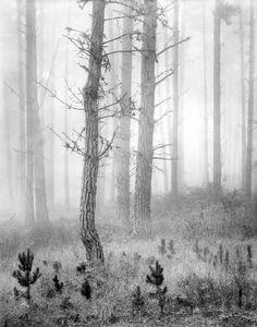 Artist: Wynn Bullock, Title: Del Monte Forest
