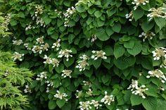 Schizophragma hydrangeoides - Japanese Hydrangea vine