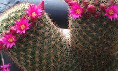 2013 floración cactus