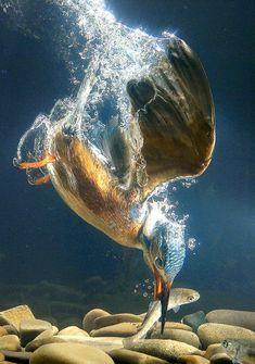 photo of kingfisher underwater