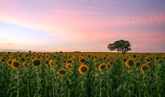 Summertime Sunnys - Taken on the Darling Downs in SE Queensland, Australia  (6120x3604) #nature and Science