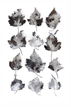 white poplar-leaves-mjh