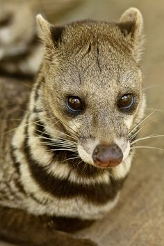 Civet Cat by diegopoo.deviantart.com on @deviantART