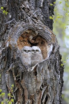 A Pair of Great Horned Owlets, Bubo Virginianus, in a Nesting Hole -