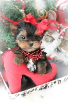 YORKIE,YORKIES FOR SALE,YORKIE,YORKY,PUPPIES, TEACUP YORKIES, TEACUP YORKIE,YORKIE TEACUP