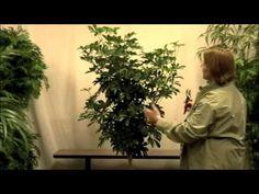 How To Grow and Care For Schefflera Arboricola - Dwarf Umbrella Tree