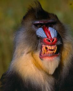 The mandrill (Mandrillus sphinx) is a primate of the Old World monkey (Cercopithecidae) family.It is one of two species assigned to the genus Mandrillus, along with the drill. Both the mandrill and the drill were once classified as baboons in the genus Pa Primates, Mammals, Rare Animals, Animals And Pets, Funny Animals, Animal Tv, Animal Faces, Funny Cat Videos, Funny Cats