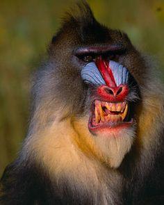 Angry Mandrill Baboon