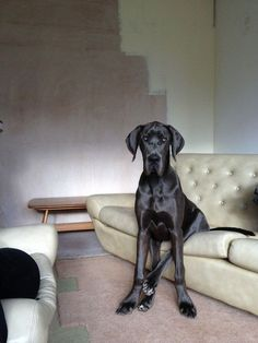 My FAVORITE breed of dog, no clipped ears too! Great Dane!