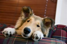 Big Dogs, I Love Dogs, Cute Dogs, Rough Collie, Collie Dog, Scotch Collie, Shetland Sheepdog Puppies, Herding Dogs, Kittens And Puppies