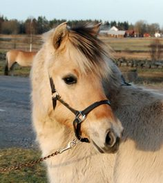 fjord on Pinterest | Fjord Horse, Ponies and Horses