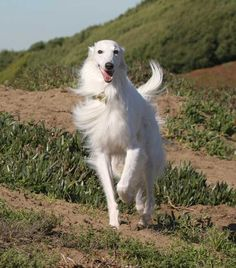 Borzoi.  Evening Wind Silkens - Breeder of Silken Windhounds in Elk Grove, CA.