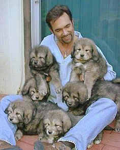 Heavy Masatiff Pups...Drayki Tibetan Mastiffs-Puppies