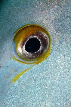 halacska szeme, fish's eye Ocean Creatures, Weird Creatures, Underwater Animals, Undersea World, Eye Pictures, Wild Eyes, Look Into My Eyes, Human Eye, Fish Art